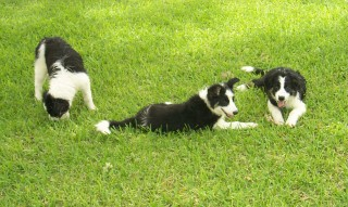 Three collies.