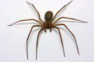 The brown recluse spider has a violin-shaped image on its back.