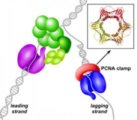 <b>Asymmetry:</b> Using the new model, researchers examined the molecular differences in replication for the two DNA daughter stands, known as lagging...