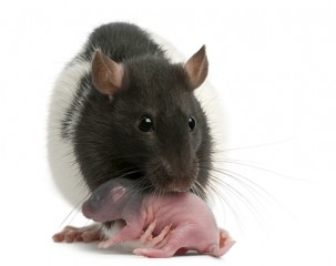 The study involved rat  mothers and pups, and found that mothers conditioned to fear the smell of peppermint could transmit that fear to their babies simply...