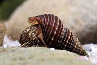 Elimia snail population declines may be tied to algae growth in Florida springs, new University of Florida research shows.