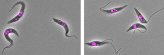 <em>T. brucei</em> parasites in the trypomastigote stage (left) adopt a very different shape compared with the epimastigote-like cells induced by suppression...
