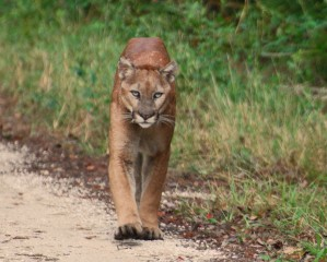 Panthers preying on calves is a problem for Florida ranchers, University of Florida researchers confirmed, but frequency varies with ranches' layout.