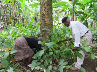 São Tomé e Príncipe Sum Pontes and San Verónica healers collect the V. africana plant for their patients. In assays, the plant showed to be potent...