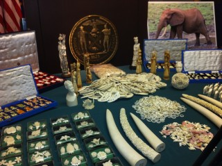 Confiscated elephant ivory from New York City.