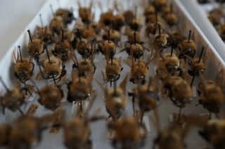 A tray of bumble bees from the Smithsonian National Museum of Natural History's bee collection awaits digitization. The museum is digitizing all 45,000...