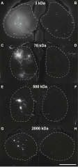 Figure 2. Fluorescence images of the murine hippocampus after diffusion of Dextran of distinct sizes (A, B) 3 kDa, (C, D) 70 kDa, (E, F) 500 kDa, and (G, H) 2000...