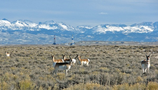 Pronghorn in a gas field in Wyoming