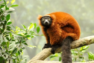 Madagascar's Makira forest is one of the world's great primary forests home to wildlife found nowhere else on earth including this red-ruffed lemur....