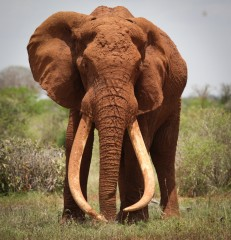 One of Kenya's most adored elephants, known as Satao and with remarkable tusks, was killed for his ivory in Tsavo East National Park in May 2014 - devastating...