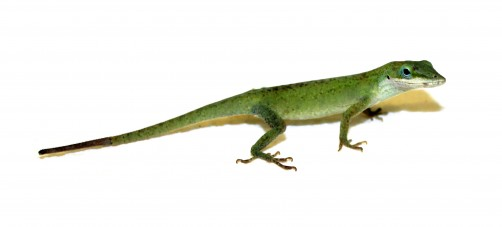 Newswise: How Lizards Regenerate Their Tails: Researchers Discover Genetic 'Recipe'