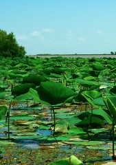 This image shows freshwater marsh vegetation in Wax Lake Delta, La. Aquatic vegetation on low-elevation marshes is pictured in the foreground, while woody...
