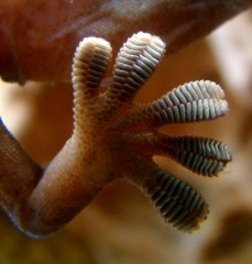 "Geckos' feet are nonsticky by default, but they can activate ""stickiness"" through application of a small shear force."