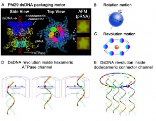 Illustration of rotation motions and revolution motions using Phi29 revolution motor as an example. (A) 3D structure of Phi29 dsDNA packaging motor in a side...