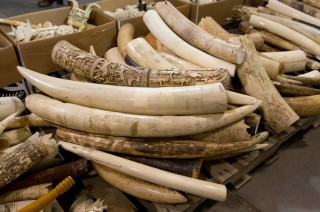 Ivory stockpile destroyed last year by the U.S. Fish and Wildlife Service.