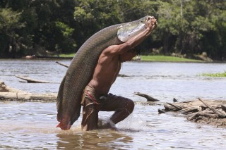 The arapaima fish, which once dominated Amazon fisheries, is long and can weigh as much as 400 pounds.