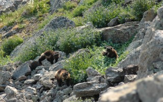 Wolverines depend on the cold snow-pack provided by mountain habitat to den and store food.