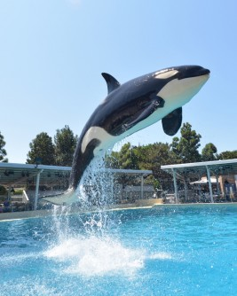 Newswise: Killer Whales Learn to Communicate Like Dolphins