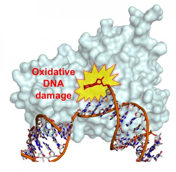 After the DNA polymerase (gray molecule in background) inserts a damaged nucleotide into DNA, the damaged nucleotide is unable to bond with its undamaged partner. As a result, the damaged nucleotide swings freely within the DNA, interfering with the repair function or causing double-strand breaks. These steps may ultimately lead to several human diseases.