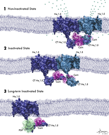 Caption: (1) Two activated sodium channels embedded in the cell membrane are bound to each other and to a calmodulin molecule (purple). (2) Sodium channels bound to each other and to calmodulin are poised for activation but have not yet been opened by voltage change. (3) A sodium channel not bound to another channel cannot be activated by a voltage change.