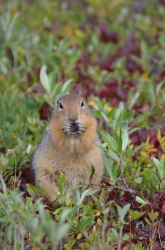 Newswise: Braving the Cold to Understand What Makes Squirrels Tick