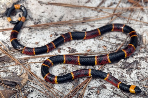 Newswise: Mapping Snake Venom Variety Reveals Unexpected Evolutionary Pattern