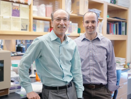 Newswise: Keeping the Heart's Engine in Sync: Study Shows Contractions Rely on Critical Protein for Efficient Function