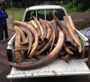 Newswise: Congo Ivory Crack Down