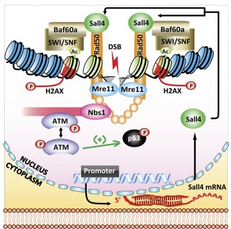 Newswise: Sall4 Is Required for DNA Repair in Stem Cells