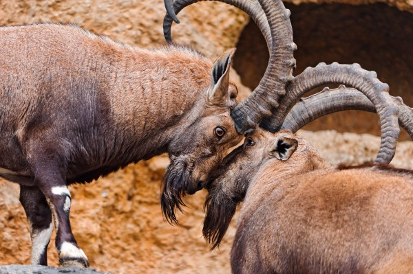 Aggressive dominance is routine in the animal kingdom. But when people resort to aggression and intimidation to gain social status, it may come at a cost to their own health, psychologists at the University of Utah have found. Attaining higher social status as the result of prestige and freely given respect may have protective effects, studies showed.