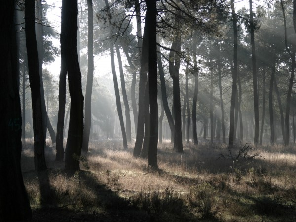 Maritime pine forest in the Castilian Plateau, central Spain. Maritime pine forests support a great diversity of associated fauna and flora, in particular in the Mediterranean region where they grow within an intensively humanized agricultural landscape.