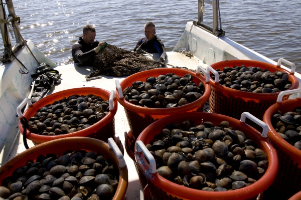 Clam fishermen harvesting bags of mature clams off the coast of Cedar Key, Florida. Ocean, boat,gulf, fishing.
