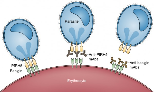 Malaria parasites depend on the interaction between basigin and PfRH5 to invade (left). Antibodies against PfRH5 can block invasion (middle), but this strategy is vulnerable to resistance development. A new strategy, described by Zenonos et al., uses antibodies against basigin to block invasion (right).