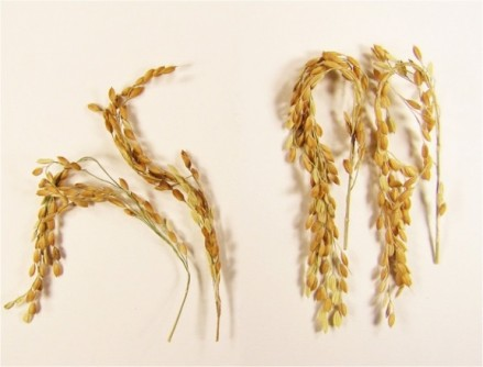 In addition to a near elimination of greenhouse gases associated with its growth, SUSIBA2 rice produces substantially more grains for a richer food source. The new strain is shown here (right) compared to the study's control.