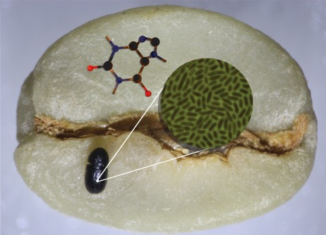 A coffee berry borer (lower left) sits atop a coffee bean, which is its sole source of food and shelter. The beetle thrives in the toxic, caffeine-rich bean thanks to the microbes in its gut, shown in the green microscopy image. A schematic of a caffeine molecule is also shown.
