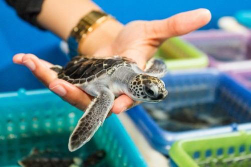 Newswise: Sex and Sea Turtles: New FAU Study Reveals Impact of Climate Change, Sea Level Rise