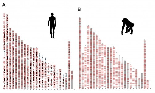 Newswise: Salk Scientists Discover Protein Factories Hidden in Human Jumping Genes