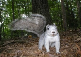 Newswise: Delmarva Fox Squirrel Rebound, No Longer Endangered