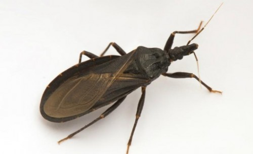Newswise: Chagas Disease, a Deadly Bug-Borne Infection, Is Spreading in Texas