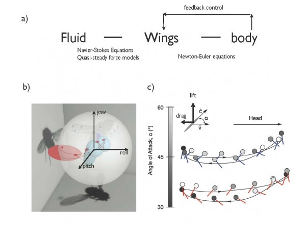 Computational modeling of fruit flies in free flight