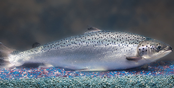 Newswise: FDA Approves Genetically Modified Salmon For Human Consumption