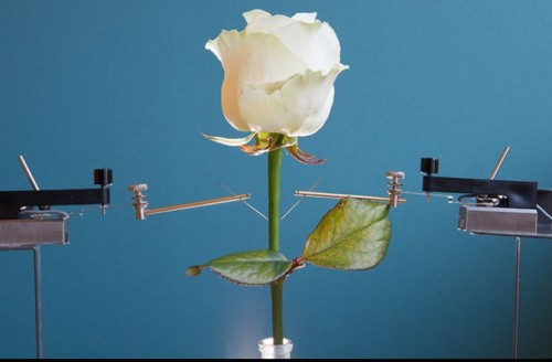 Newswise: A Cybernetic Rose with Self-Growing Circuits