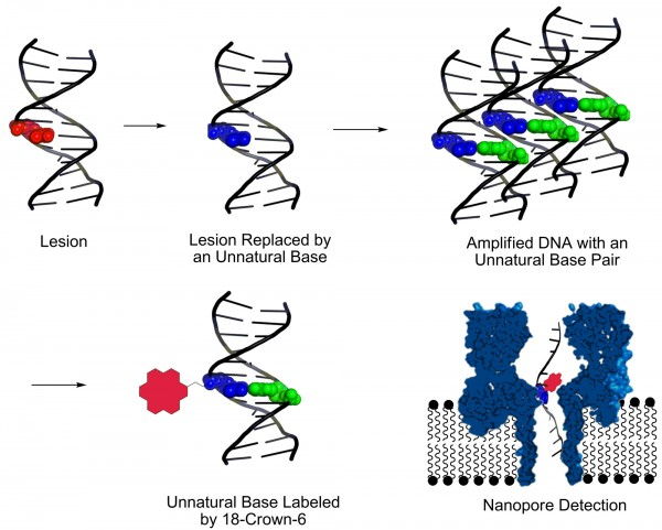 This graphic shows a new method, developed at the University of Utah, for identifying DNA lesions, or sites of damage on DNA strands that can lead to disease-causing mutations. First the damage is cut out and replaced by so-called unnatural base pairs so chemists can amplify, or make millions of copies, of the damaged DNA. Then they label the unnatural base with a chemical called 18-crown-6 ether. which makes it easier to detect the site of DNA damage by passing the strand of DNA through  molecule-size nanopore.