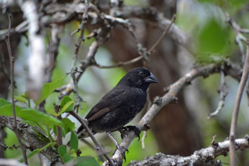 Newswise: Darwin's Finches May Face Extinction