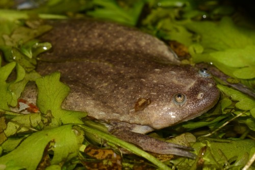 Newswise: Researchers Discover Six New African Frog Species, Uncover Far More Diversity Than Previously Known