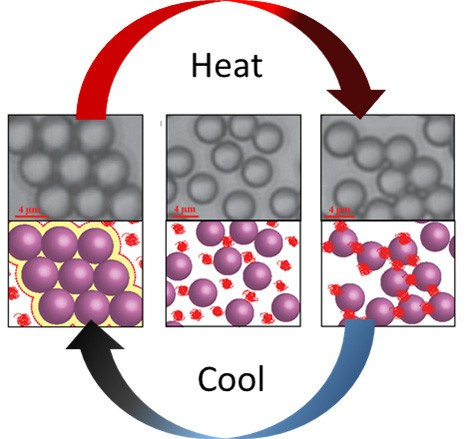 A liquid mixture solidifies to different solid phases upon cooling (left) and heating (right). At low temperature, colloidal spherical particles form crystals due to pressure from collisions with the surrounding polymer. At high temperature, the polymer sticks to and bridges the particles, forming a random aggregate. At the crossing point (an intermediate temperature shown in the center), a liquid dispersion is formed because the attractive forces compensate for the collisions.