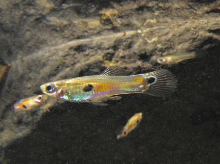 Newswise: Trinidadian Guppies Help 7th Graders Understand Evolution