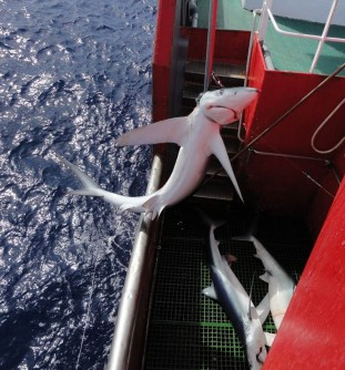 Newswise: Shark Hotspots 'Tracked' by Fishing Vessels