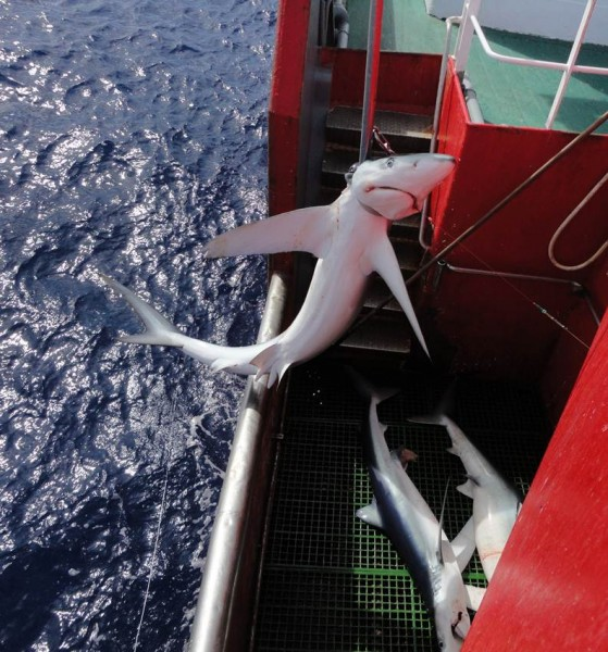 A blue shark Prionace glauca caught on a commercial longline in north Atlantic.
