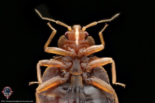 Newswise: Scientists Map the Genome of the Common Bed Bug